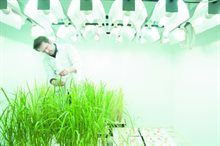 Measuring photosynthesis/plant stem (chlorophyll fluorescence) on rice